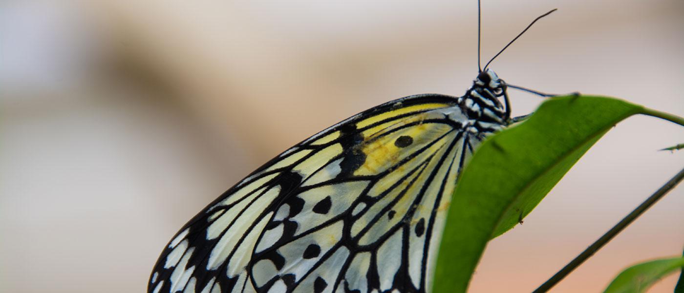 Butterfly-1400